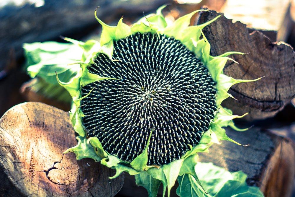 seeds   Longevity Live