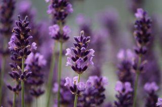 Aromatherapy and Lavender| Longevity LIVE