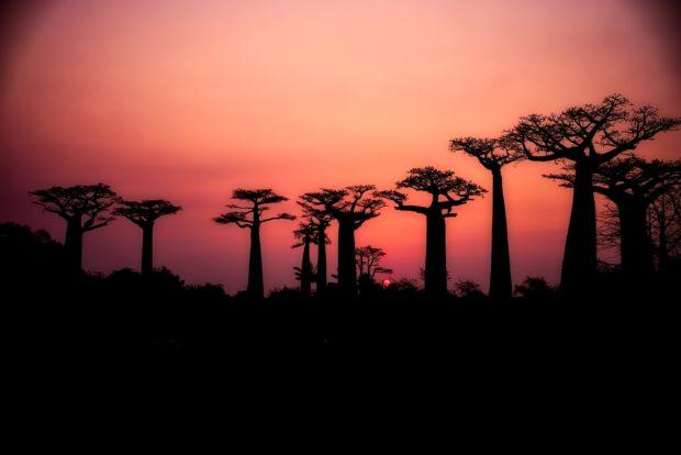 baobab | Longevity LIVE