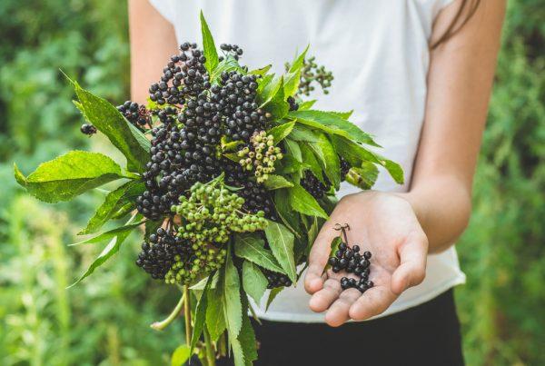 elderberry home | Longevity LIVE