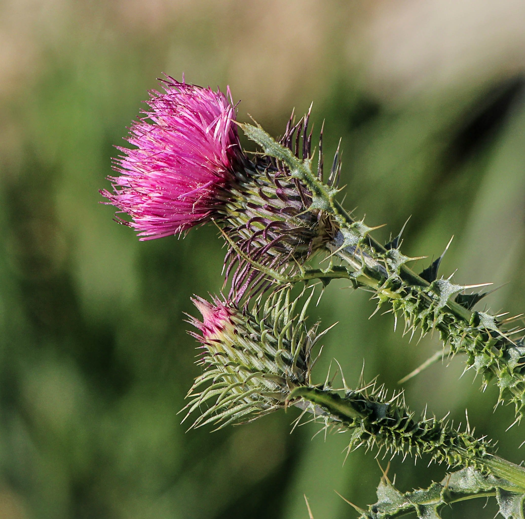 Milk Thistle:  What is it and why is it important for us?